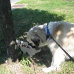 Herman sniffing pooping plywood dog