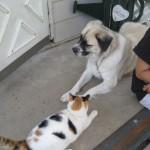 cat and Herman