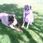 English Mastiff and Herman
