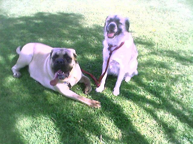 English Mastiff and Herman