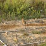 Bunny, potential coyote food