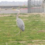 Blue Heron at Bolsa Chica State Beach, Huntington Beach CA