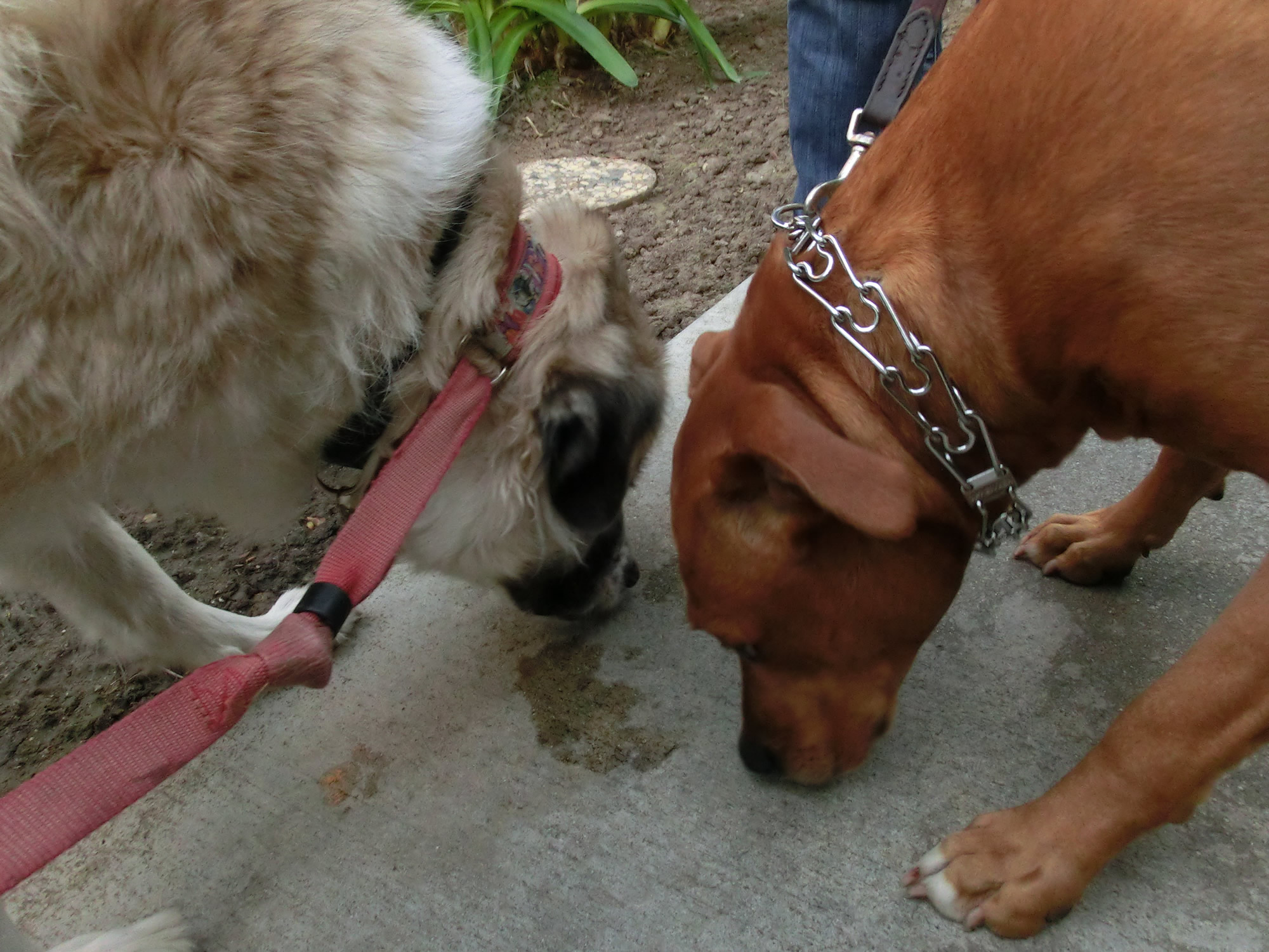 Herman and Sandy sniffing sidewalk