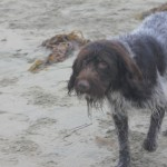 BIll or Claire (wirehaired pointer griffon)