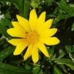 Yellow flower, 2011 March, Huntington Beach CA