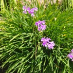 Purple flowers, 2011 March, Huntington Beach CA