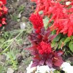 Red flowers, 2011 June, Huntington Beach CA