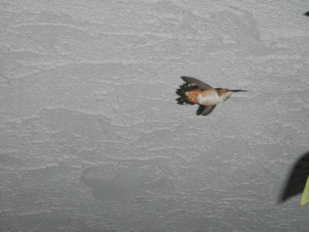 Hummingbird flying under our walkway (downstairs)