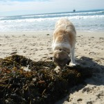 Herman sniffing kelp washed up on the beach