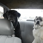 Stuey and Herman going to Dog Beach!