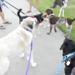 Herman walking with neighbor dogs