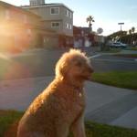 Kasey, the golden-doddle at golden hour