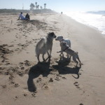 Herman and more friends at Dog Beach on Herman's 13th birthday