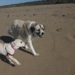 Lucy and Herman at Dog Beach on Herman's 13th birthday