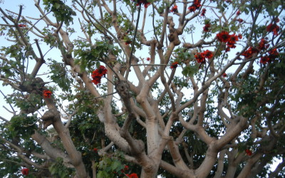 Tree with pretty red flowers, also scary pig face - if you look closely near the center of photo