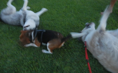 Lucky, you need to get on your back like this to roll in the grass properly