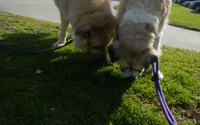 Hershey and Herman sniffing the grass together