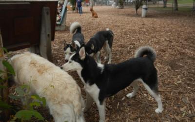 Husky Day at Dog Park