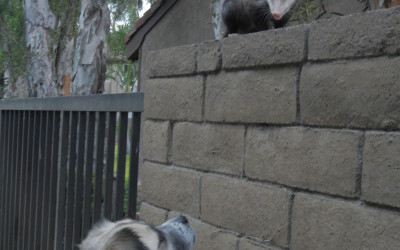 2014 June 14 Herman attempts to make friends with a neighbor possum