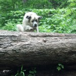 2013 June 05 Herman overcomes an obstacle while climbing the Smokey Mountain in Indian Lake, New York