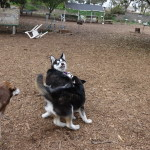 smaller young husky growling at Kay (the dog)